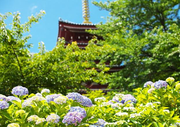 写真: 紫陽花と五重塔