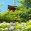 Photos: 紫陽花と五重塔