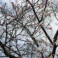 神田橋の桜が咲いていた!春はもう直ぐ!