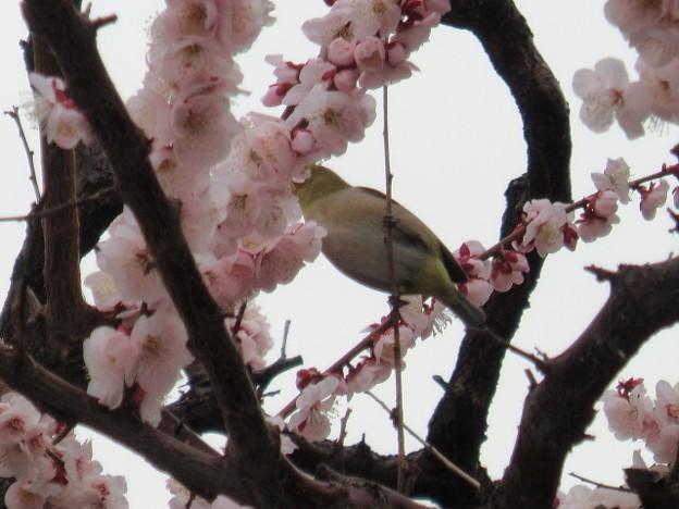 Photos: 目白と豊後梅