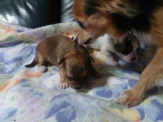 赤ちゃんチワと母