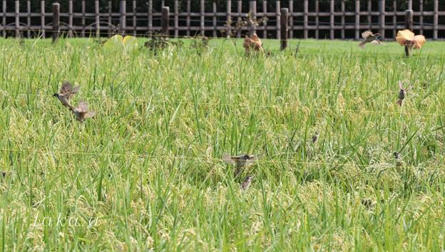 Photos: 後楽園内の田んぼです。