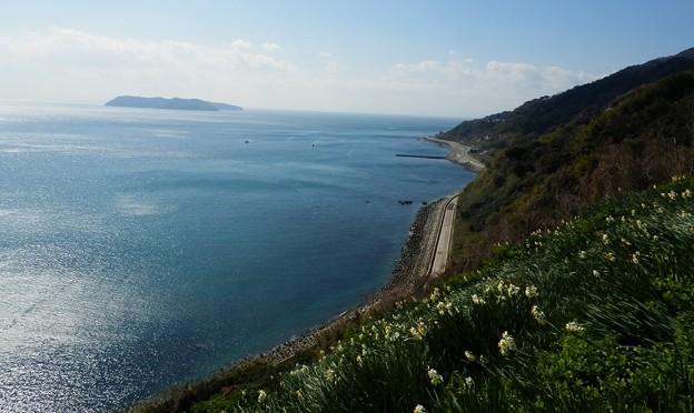 写真: 灘黒岩水仙郷29