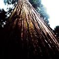 写真: 岩戸神社側の巨木