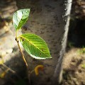 写真: 岩鬼風の葉っぱ