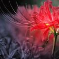 写真: 彼岸に咲く花